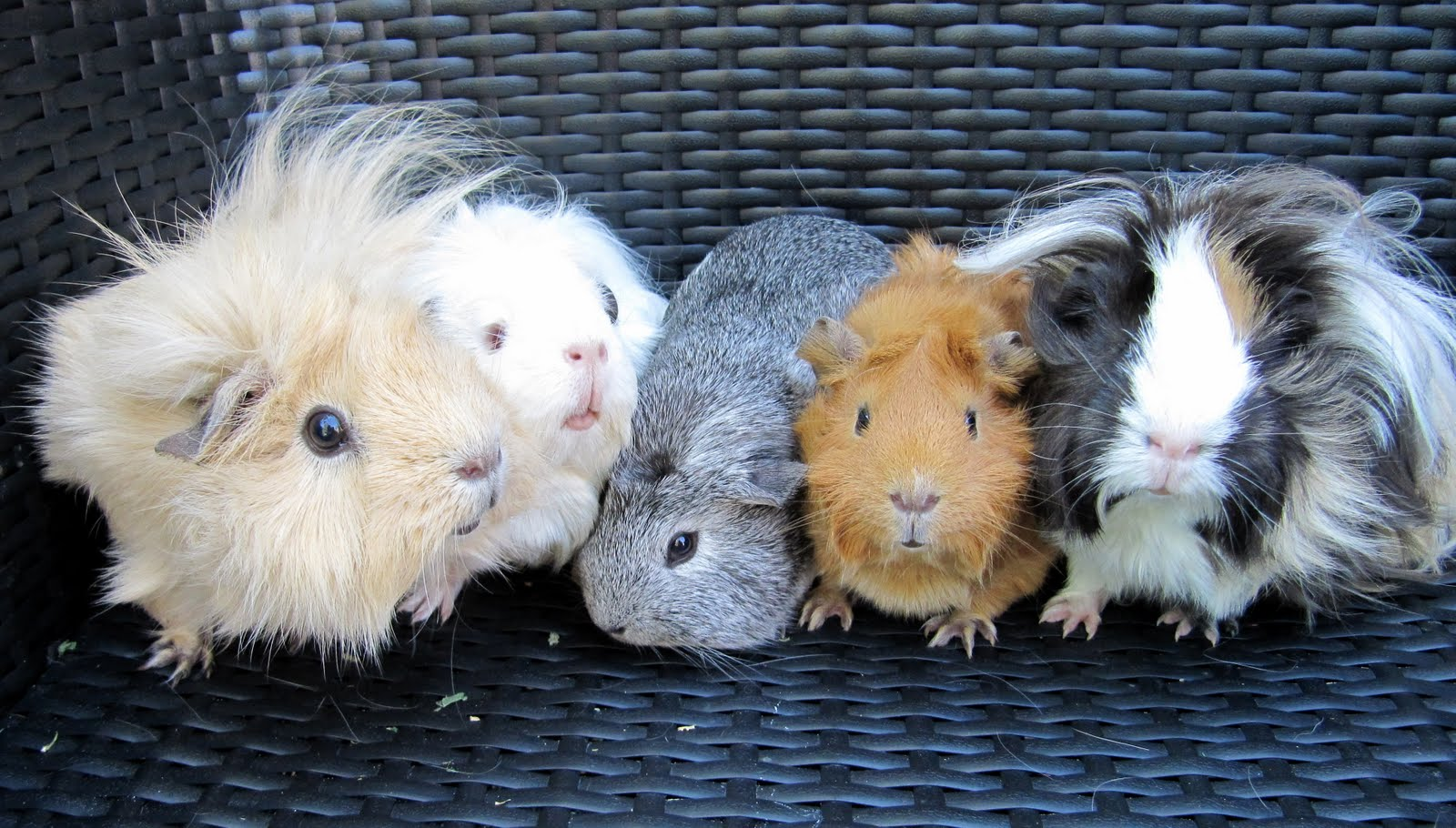 All Things Guinea Pig: About Me