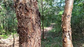 Betula nigra (river birch) tree bark paper peeling new orleans louisiana