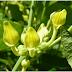 Planta CONTROVERSATĂ: vindecă CANCERUL, tratează ULCERUL, CIROZELE şi PANCREATITA