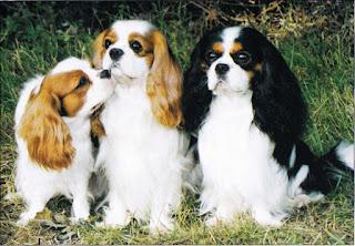 Najkrajší a najlepšie sa správajúci pes - ktorý by lepšie zhrnul kvalitu cavaliera?
