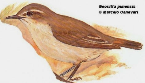 Caminera puneña, Geositta punensis
