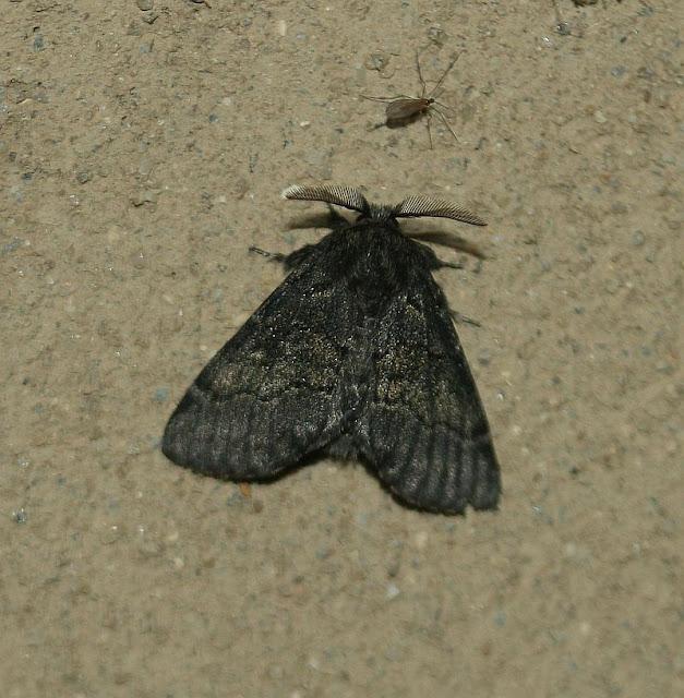 Pappelauen-Zahnspinner, Gluphisia crenata