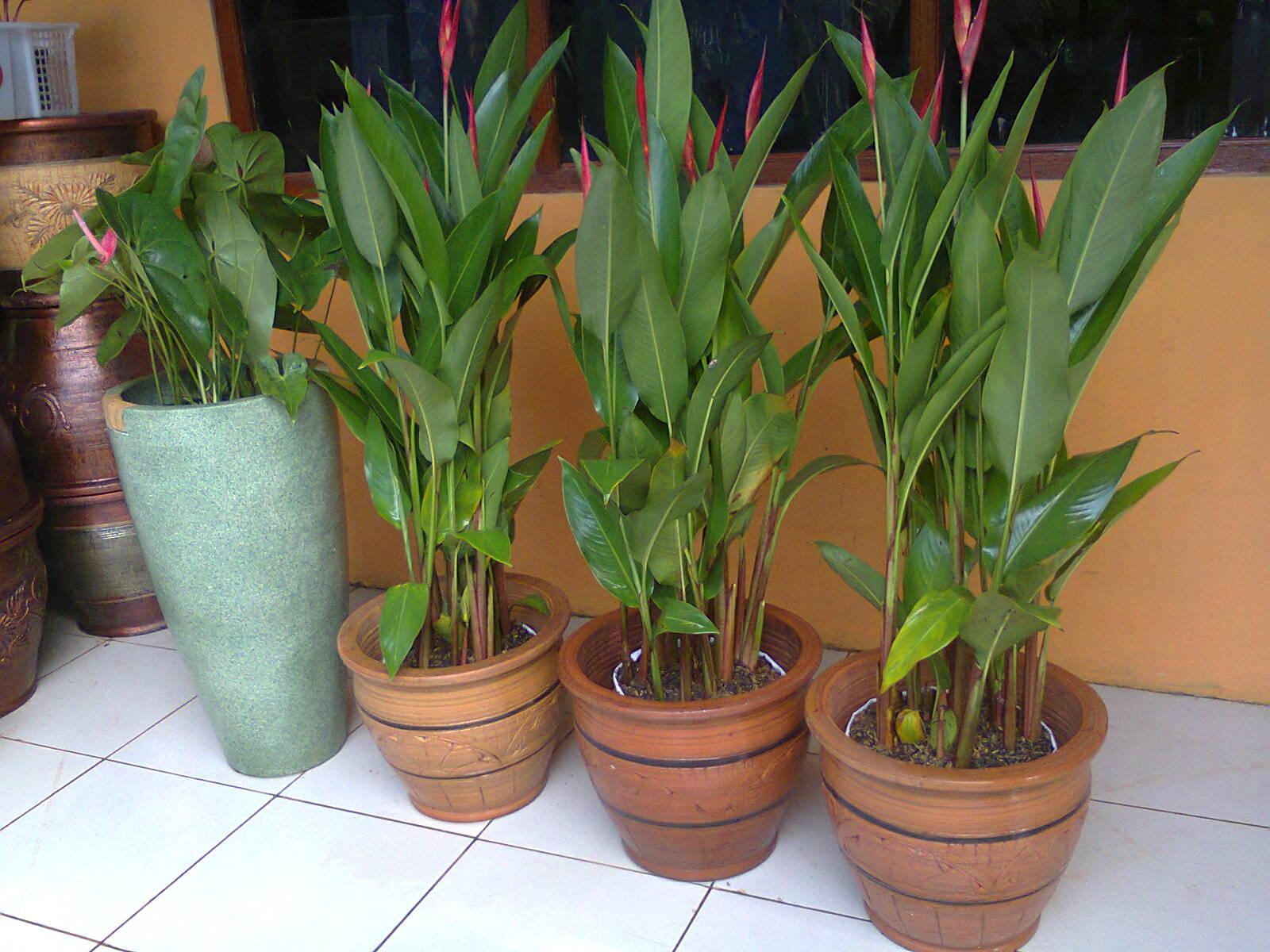 rental tanaman hias, berbunga, heliconia lady day, indoor plant