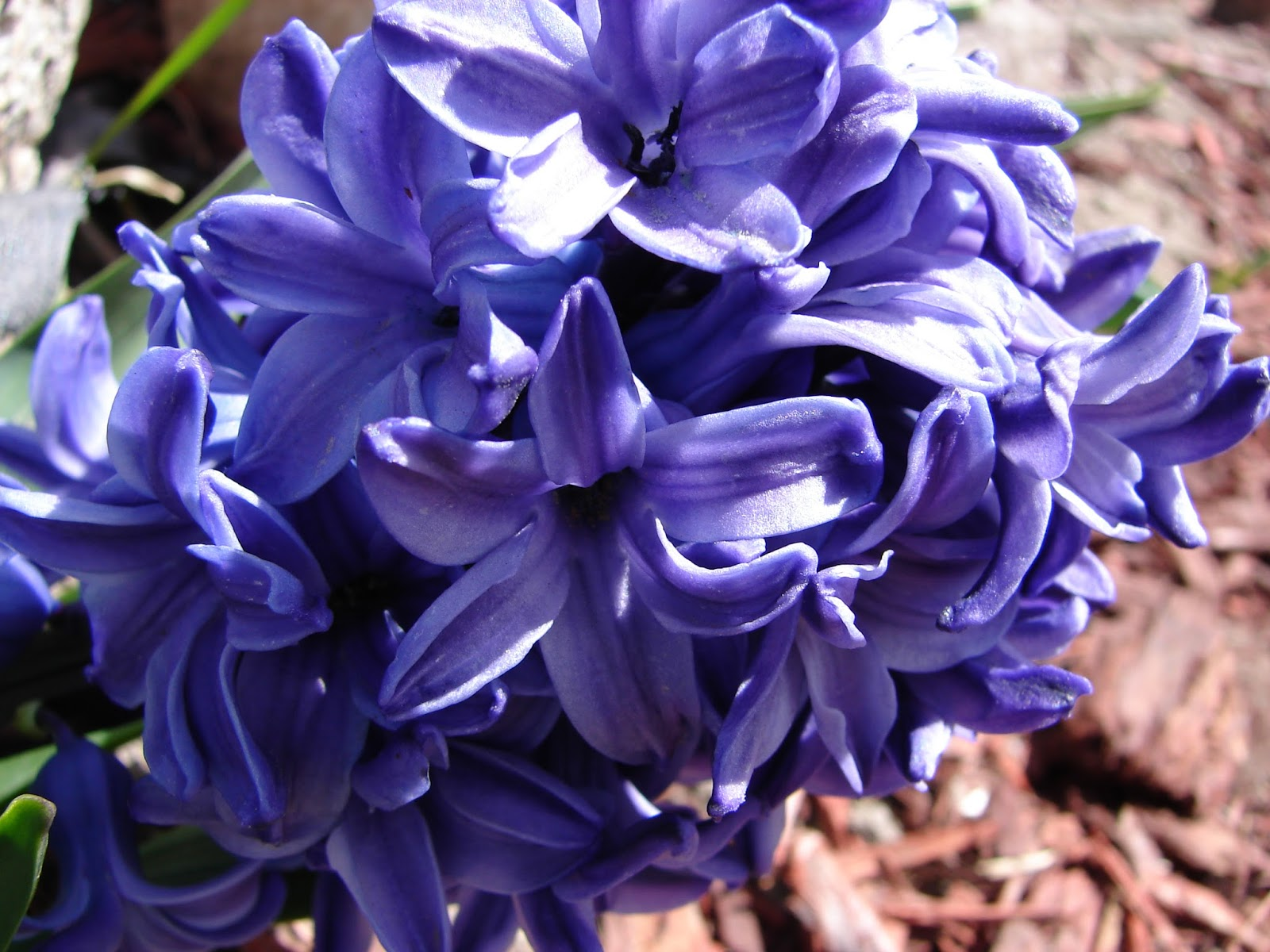 New Utah Gardener: Hyacinths To Feed Your Soul!