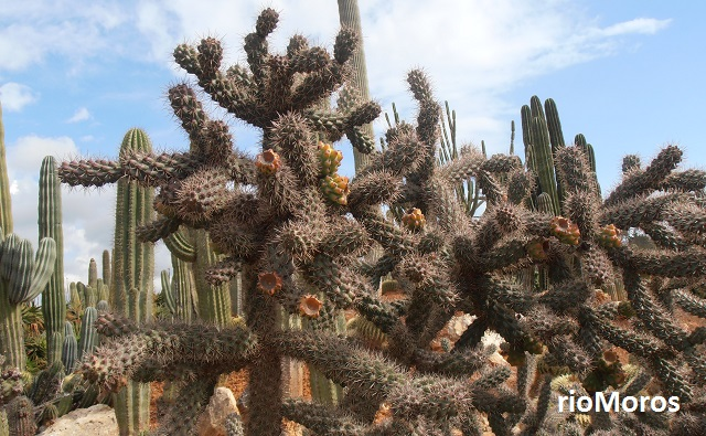 Cylindropuntia%2balcahes%2b%2528opuntia%2balcahes%2529%2b%2528cactus%2bclavellina%2529%2b1