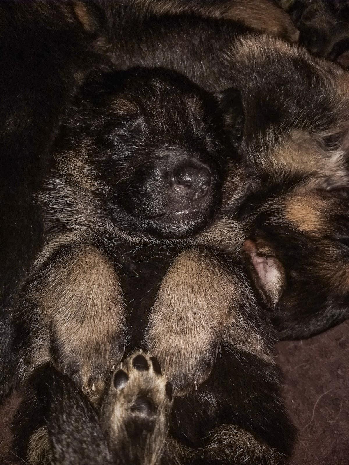 3 week old German Shepherd puppy sleeping upside down.