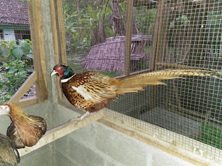Ring Neck Pheasant Induk