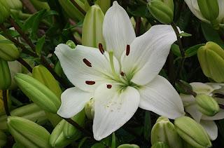 bunga-lily-mojokerto