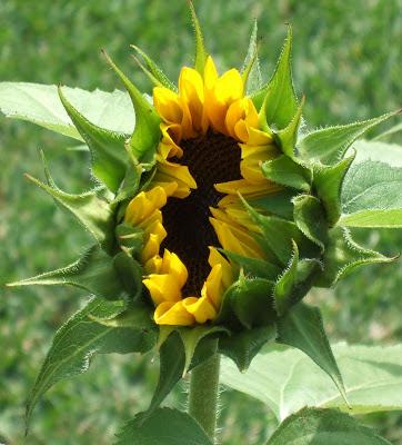A Bashful Sunflower Blossom Yawning