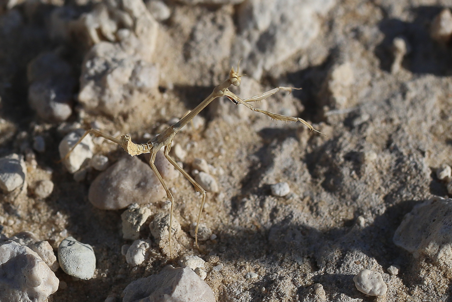 Lappet Mantis