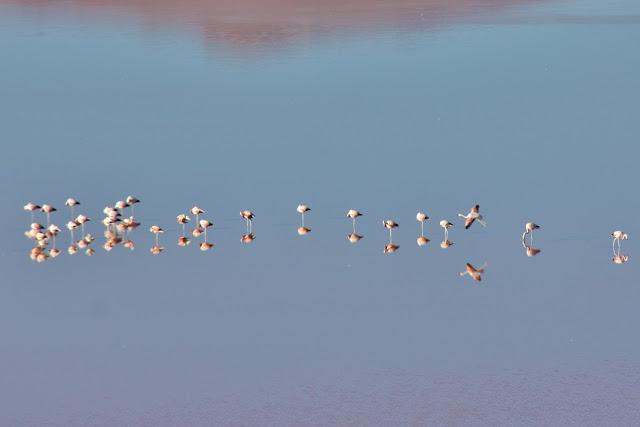 Flamingos na Laguna Colorada, na Bolívia