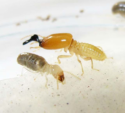 A soldier and workers of Pericapritermes termite