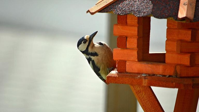 picando pau som pássaro