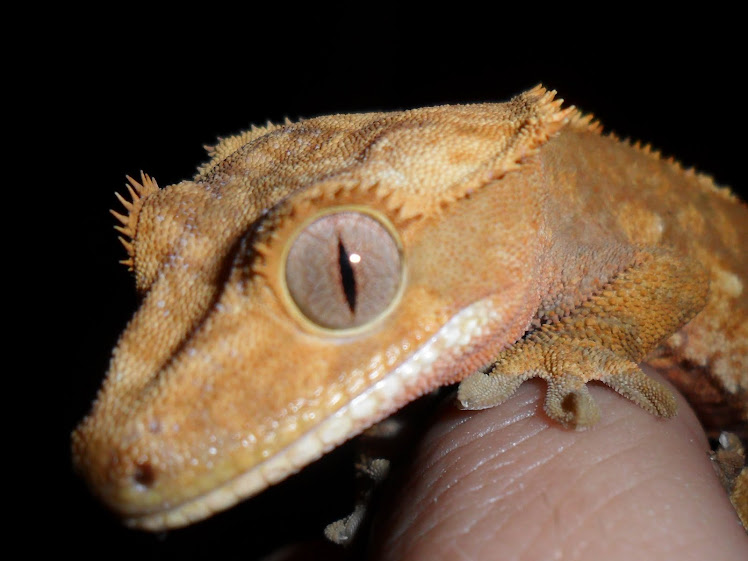 giant crested gecko -#main