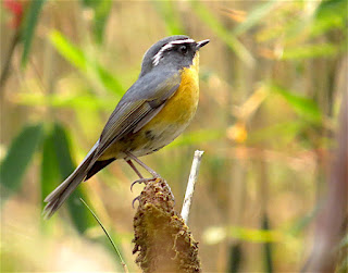 White-browed Bush-Robin