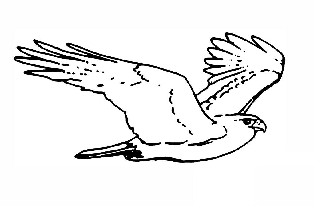 sketsa gambar burung garuda terbaru