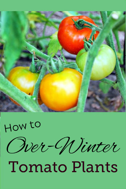 How to keep your tomato plants alive all winter long and plant them again in the spring. #tomato #tomatoes #gardening