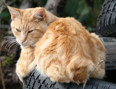 orange-ginger cat with short bob-tail, feral cat rescue