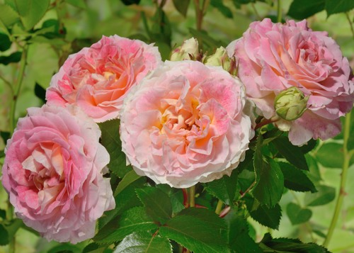 Cesar rose сорт розы фото