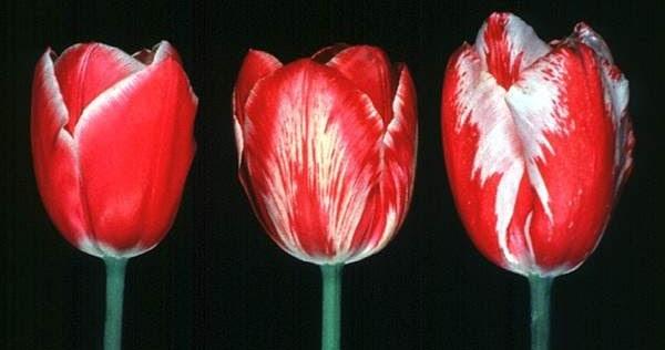 Tulip Breaking Virus Garden How