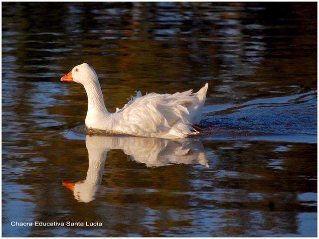 Ganso trasladándose en el agua. Foto: Marcos L - Chacra Educativa Santa Lucía