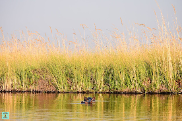 Hipopótamo en la Reserva de Moremi de Botswana