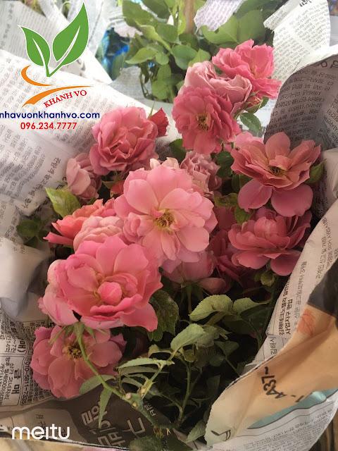 Cây hoa hồng cổ - tree rose - cực sai hoa - đẹp nghệ thuật E9acb3f04012a24cfb03_result