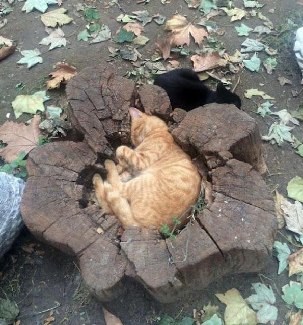 16 giây phút bạ đâu thì ngồi đấy của những chú mèo lười biếng