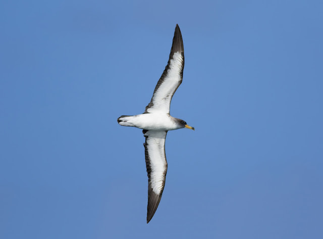 Cory's Shearwater - Scilly Pelagics