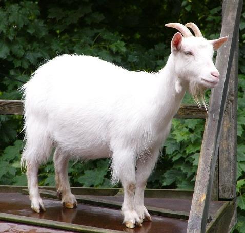 تفسير حلم رؤية الماعز في المنام موسوعة المعرفة الشاملة