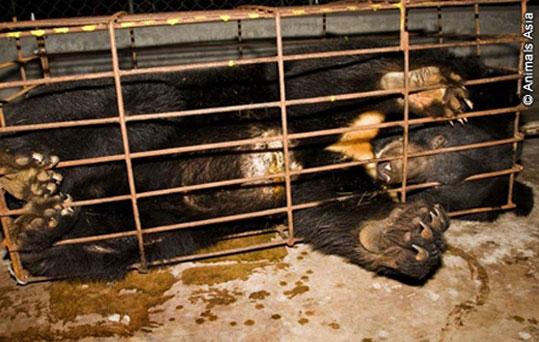 """Petição   O terrível destino dos """"ursos da bílis"""" nas quintas no Vietname"""