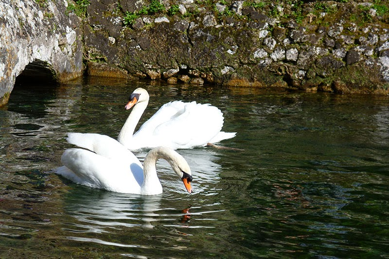 Cisne no Jardim de Ninfa