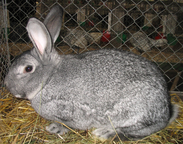 american chinchilla rabbit, american chinchilla rabbits, american chinchilla rabbit lifespan, american chinchilla rabbit information, american chinchilla rabbit breed, american chinchilla rabbit temperament, american chinchilla rabbit characteristics, american chinchilla rabbit behavior, american chinchilla rabbit facts, american chinchilla rabbit size, american chinchilla rabbit weight, american chinchilla rabbit color, american chinchilla rabbit for meat, american chinchilla rabbit history, american chinchilla rabbit origin, american chinchilla rabbit as pets, american chinchilla rabbit personality, american chinchilla rabbit pictures, american chinchilla rabbit info