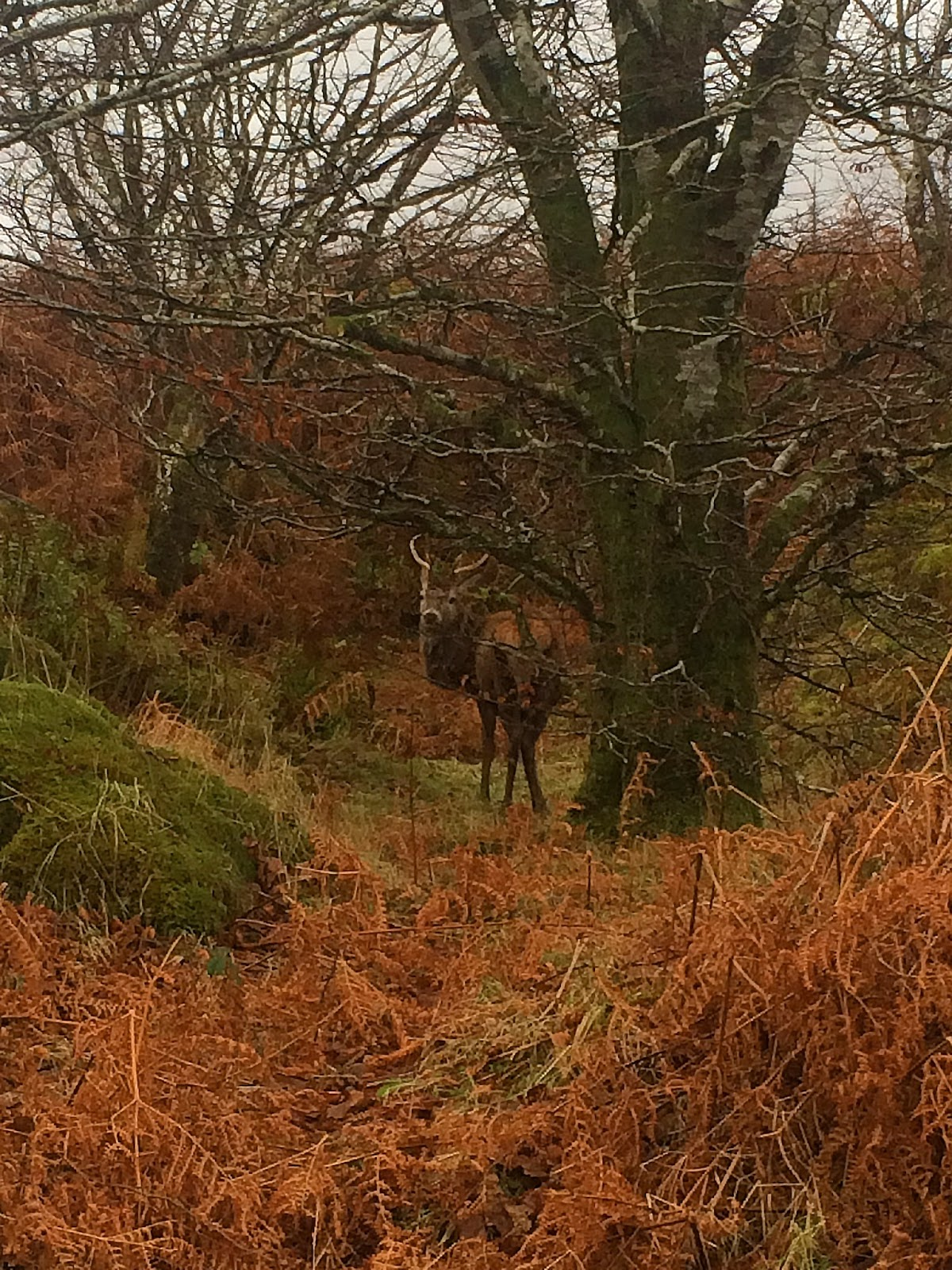 stag deer isle of mull scotland animals