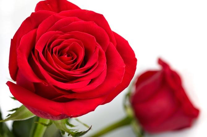 95 Gambar Bunga Mawar Merah