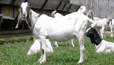 viterna plus untuk kambing