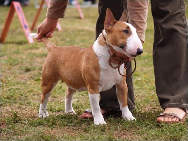 Full Size Vs Miniature Bull Terrier Bull Terrier St...