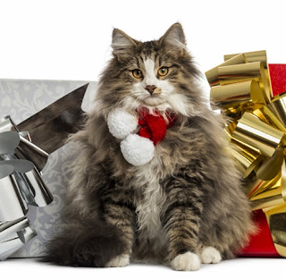 Norwegian Forest Cat wearing a Christmas ribbon