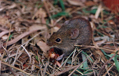 Hairy tailed bolo Mouse