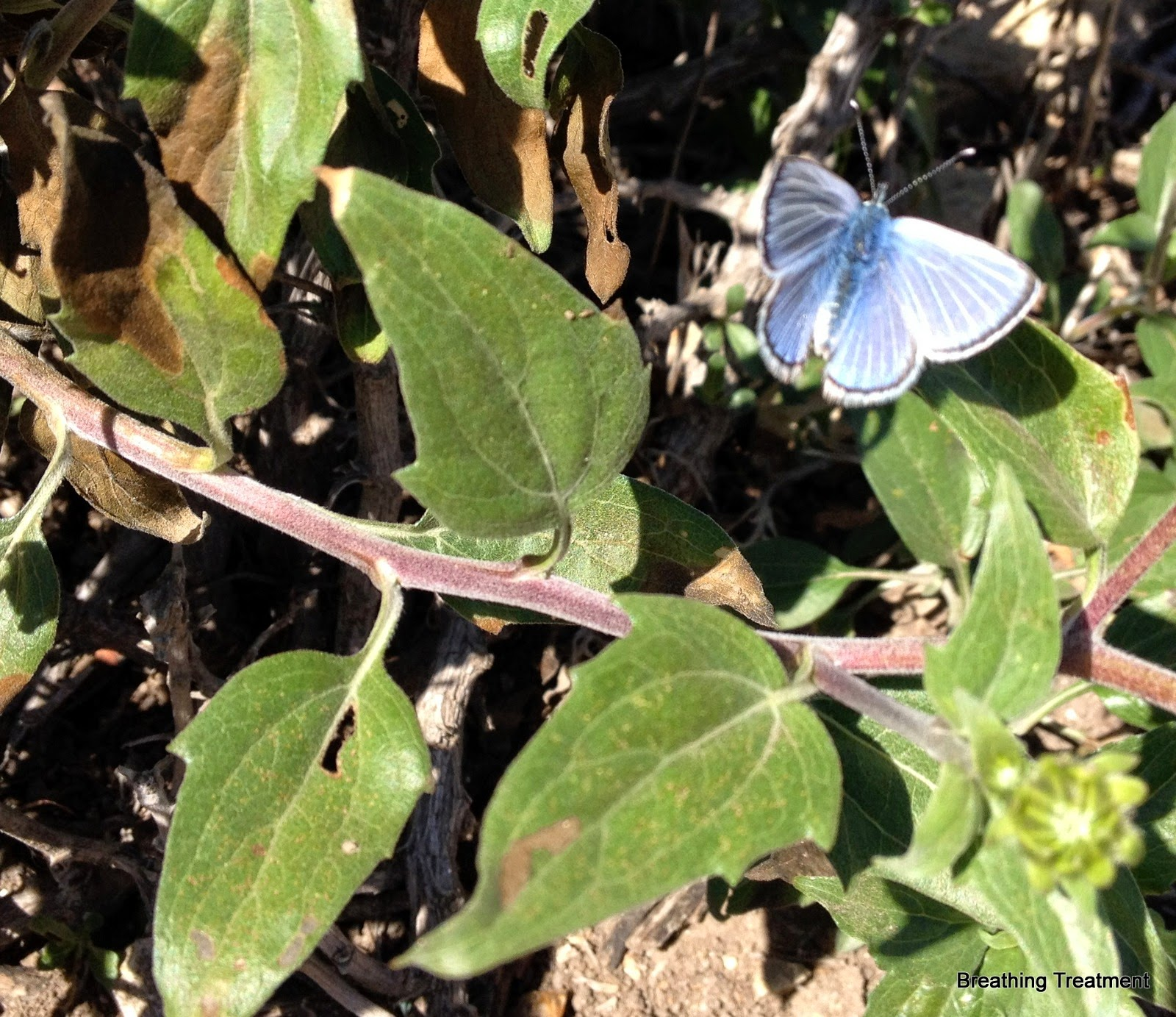 Palos Verdes Blue butterfly on Encelia(?)