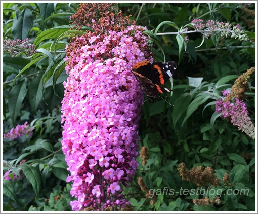 Schmetterling auf Schmetterlingsstrauch