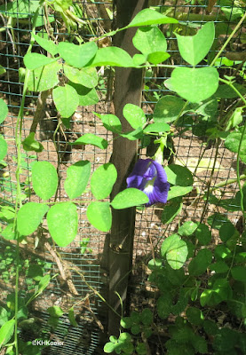 Centrosema brasiliensis butterfly pea