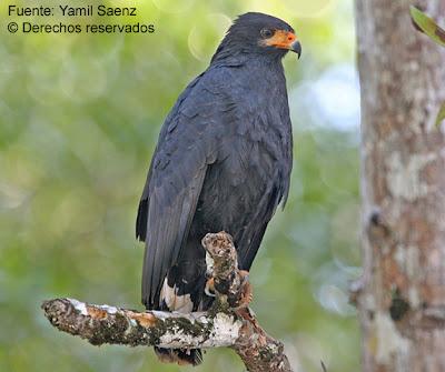 busardo negro norteño Buteogallus anthracinus