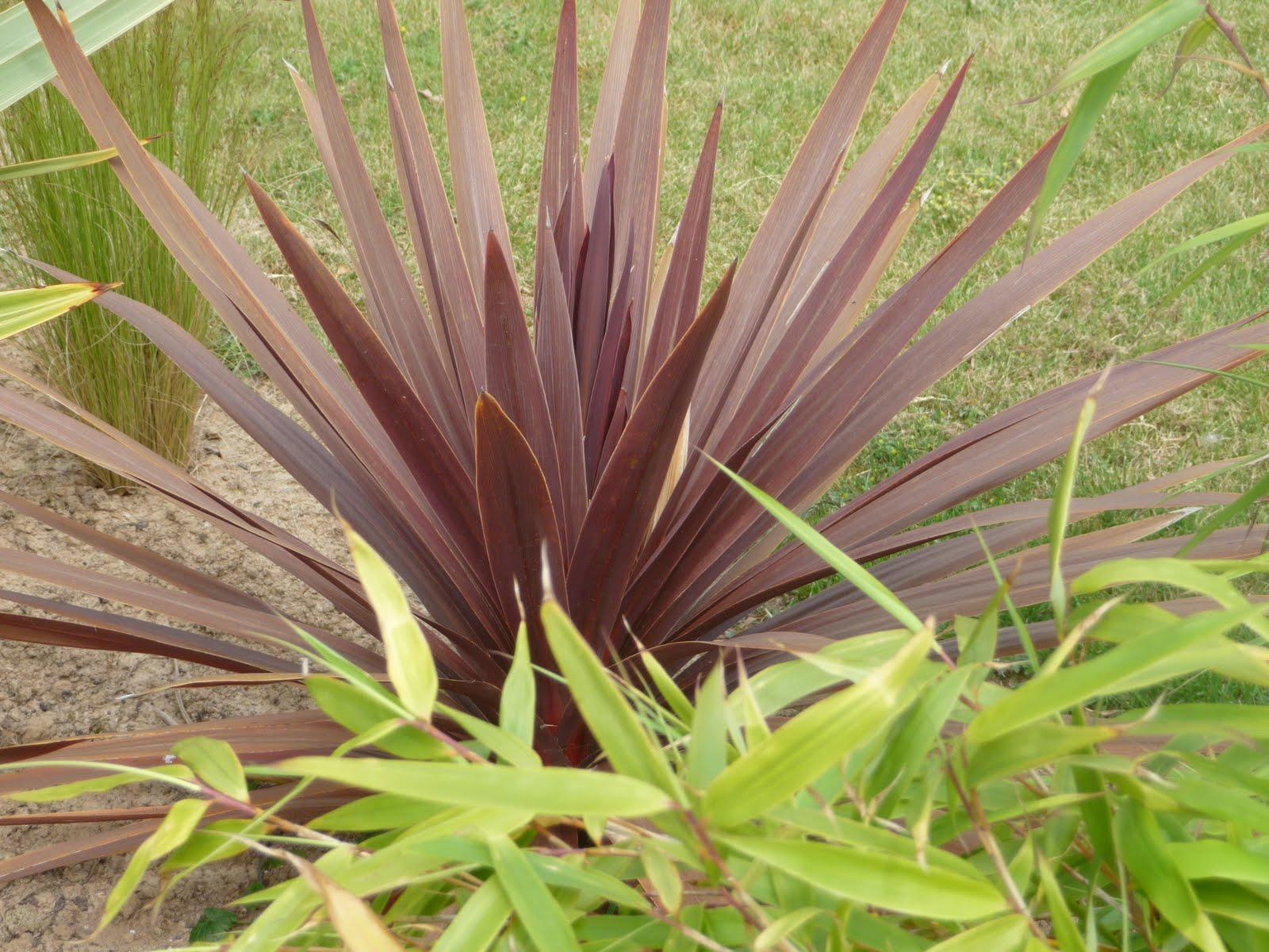 Ma terre de bruy re pourpre purpurea ou purple - Cordyline feuilles qui jaunissent ...