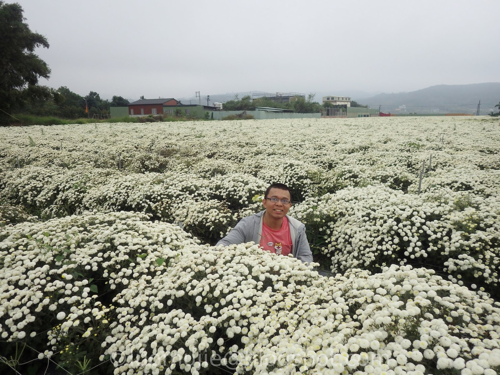 Miaoli Chrysanthemum Flower Sea