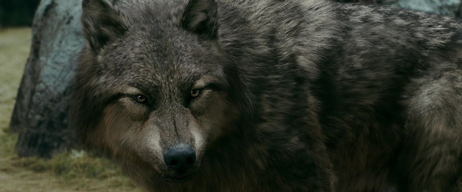 jacob black werewolf transformation - photo #38