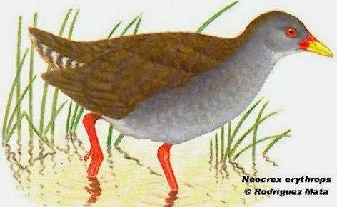burrito pico rojo Neocrex erythrops