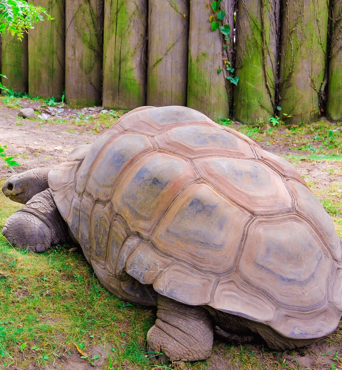 Picture of a giant tortoise.