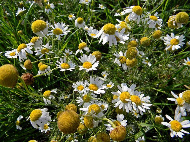 rośliny łąkowe, kwiaty, zioła, rośliny lecznicze