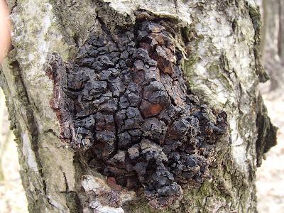 grzyby 2017, grzyby w marcu, grzyby lecznicze, Inonotus obliquus błyskoporek podkorowy, huba ukośna, huba skośnorurkowa, czaga, czyr brzozowy, włóknouszek ukośny, błyskoporek ukośny, huba brzozowa, czarna huba